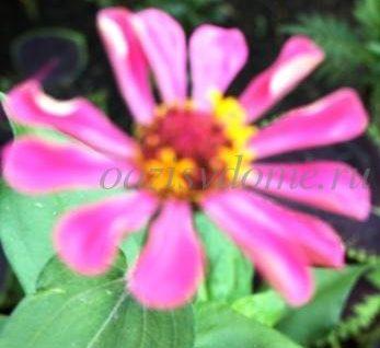 Полезные свойства и противопоказания к применению цветка эхинацея