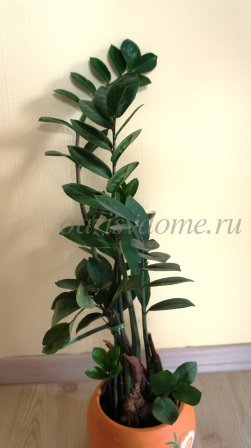 Долларовое дерево комнатное растение