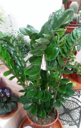 Цветок замиокулькас - фото