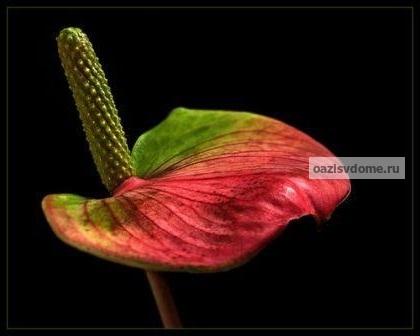 Мужской цветок счастья - антуриум: значение для дома, виды и фото