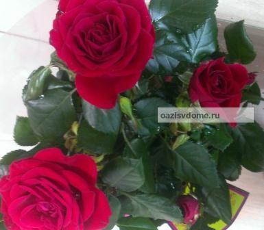 Комнатные розы - фото
