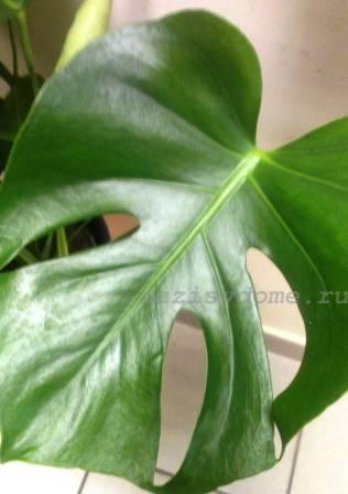 Молодой лист цветка монстера