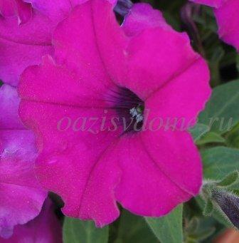Цветок петунии малиновой