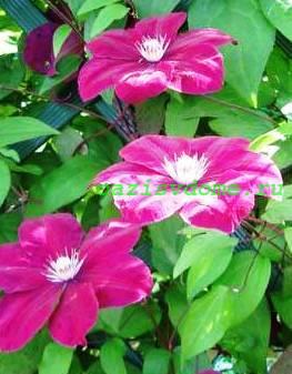 Цветы клематисов фото