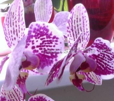 Орхидея фаленопсис фото уход
