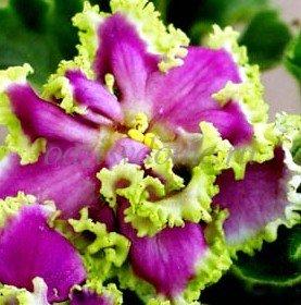 Фото комнатного растения фиалка