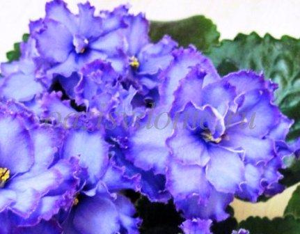 Домашние цветы фиалки - фото
