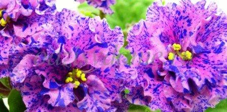 Цветок фиалка в домашних условиях - фото