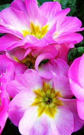 Фото розовой фиалки