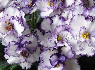 Уход за фиалкой в домашних условиях - фото цветка
