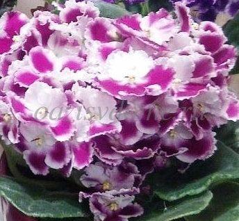Фото комнатного цветка фиалка