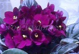Цветок фиалка - как ухаживать