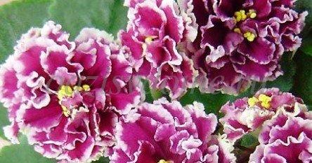 Фото цветущей фиалки