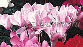 Приметы цветка цикламен