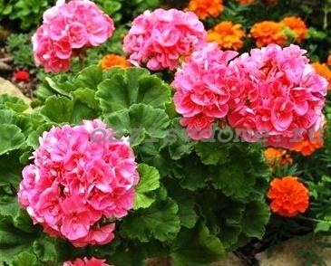 Фото цветов герани