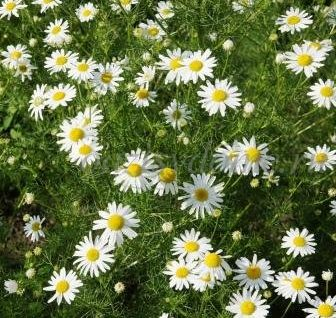 Лечебные свойства и противопоказания к применению ромашки аптечной, фото цветка