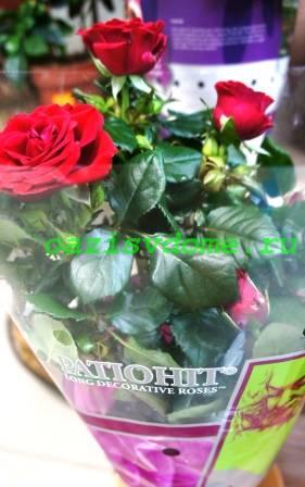 Как размножить розу черенками в домашних условиях, фото
