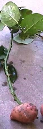 Размножение розы в картошке