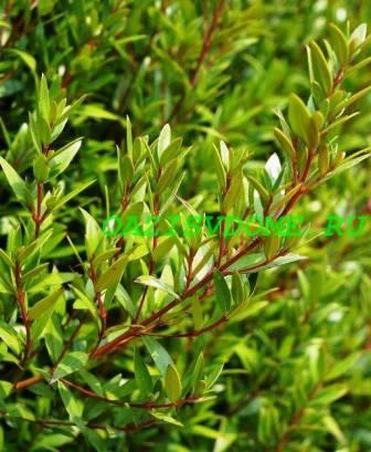 Листья комнатного растения мир