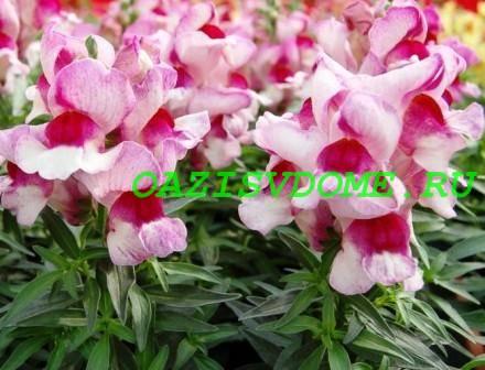 Двухцветные цветы львиного зева