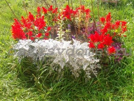 Цветок сальвия фото