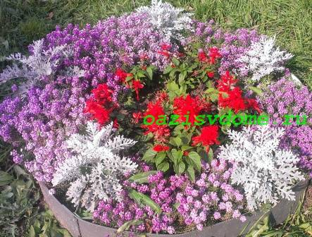 Цветок сальвия на клумбе