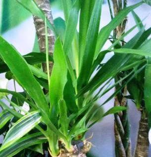 Пальма юкка уход в домашних условиях, фото, размножение, болезни