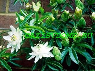 Выращивание пассифлоры в домашних условиях, фото, особенности ухода