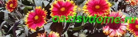 Цветок гайлардия - фото и описание