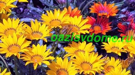 Цветок гацания - фото и описание