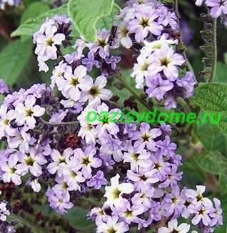 Цветок гелиотроп - фото