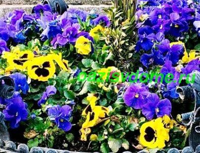 Садовая виола - фото