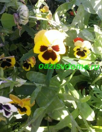 Цветок фиалки Виттрока