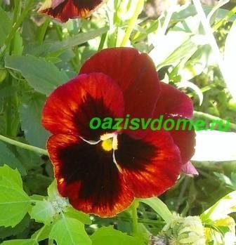 Цветок виолы
