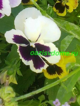 Фото цветка виолы