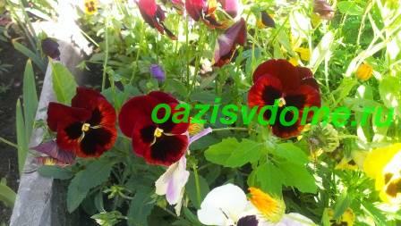 Цветение цветка виола