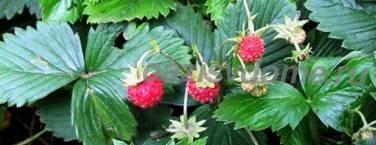 Фото земляники (клубники) в саду
