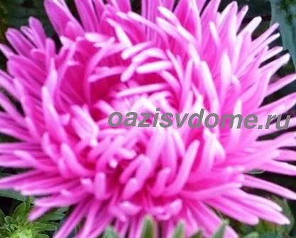 Фото цветка астры