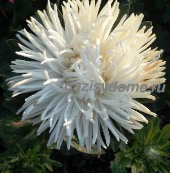 Цветок астры белой игольчатой