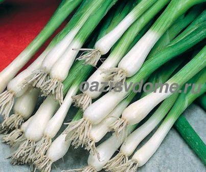 Лук-батун - урожай