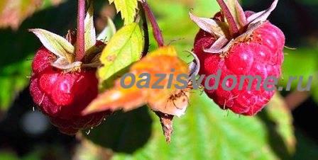 Выращивание малины в саду