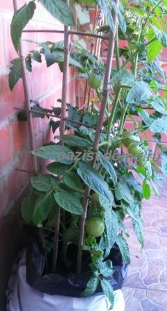 Помидоры на балконе: выращивание пошагово с фото, выбор сорта