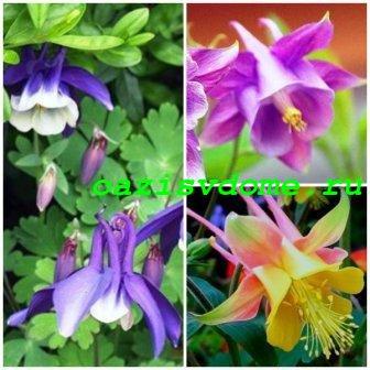 Фото садового цветка аквилегия (водосбора)