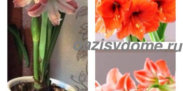 Гиппеаструм: выращивание и уход в домашних условиях, фото, почему не цветет