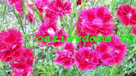 Турецкая гвоздика в саду
