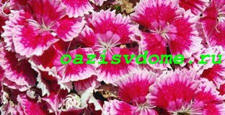 Цветение садовой турецкой гвоздики