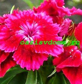 Цветок турецкой гвоздики