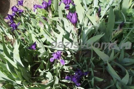 Цветение ирисов в саду