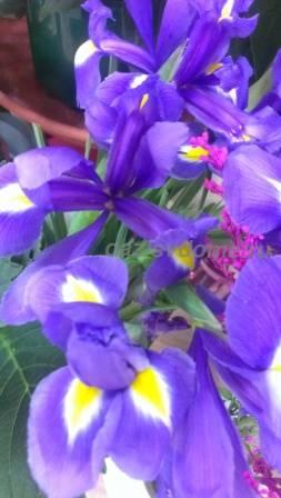 Фото цветущих ирисов