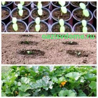 Посадка и выращивание рассады кабачков